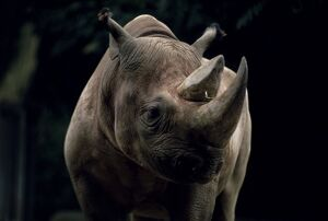 Black rhinoceros (rhino)