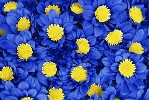 Blue Chrysanthemums