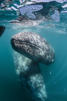 California gray whale (Eschrichtius robustus) mother and calf underwater in San Ignacio