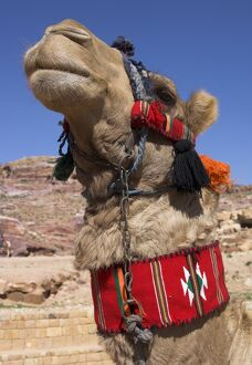Camel with a red neckband