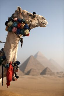 A camel stands in front of the Pyramids of Giza, Cairo, Egypt, North Africa, Africa