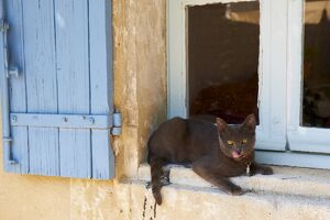 Cat Chartreux, Saignon village, Luberon, Vaucluse, Provence, France, Europe