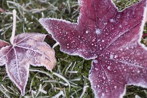 Close up of frost covered maple leaf and grass