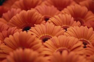 Close-up of Gerberas