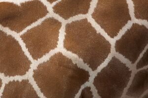 Close-up of skin of a reticulated giraffe (Giraffa camelopardalis reticulata)