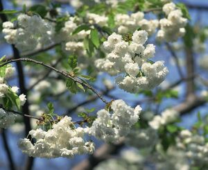 Close-up of white spring blossom on a tree in London, England, United Kingdom, Europe