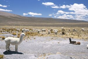 Domesticated alpacas grazing on altiplano