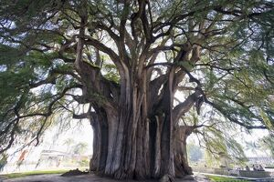 El Tule tree, the worlds largest tree by circumference, Oaxaca state, Mexico