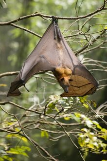 Fruit Bat (Flying Fox) (Chiroptera, Pteropodidae)