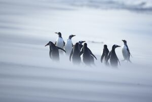 A group of Gentoo penguins (Pygocelis papua papua) caught in a sand storm