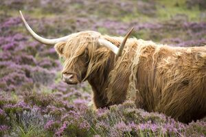 Highland cow grazing among heather near Drinan, on road to Elgol, Isle of Skye