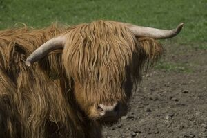 Highland cow, Scotland, United Kingdom, Europe