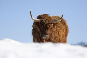 Highland cow in snow, conservation grazing on Arnside Knott, Cumbria, England
