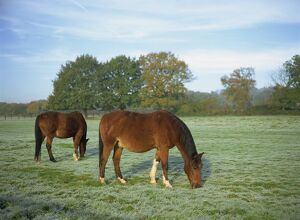 Two horses in a frosty field early morning in autumn, Sandhurst, Berkshire
