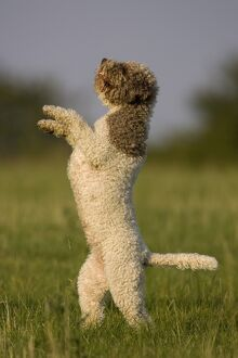 <b>Lagotto Romagnolo</b><br>Selection of 24 items