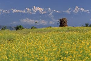 Landscape of yellow flowers of mustard crop and the