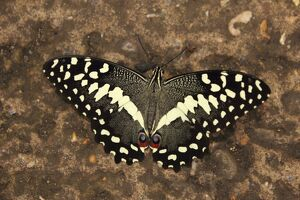 Lime Swallowtail Butterfly (Papilio demoleus)