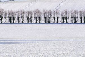 Line of trees in winter snow, Selbourne, Hampshire, England, United Kingdom, Europe