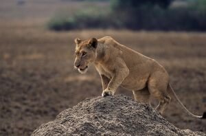Lion (Panthera leo) on termite mound