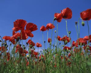 Low angle view close-up of red poppies in flower in a field in Cambridgeshire