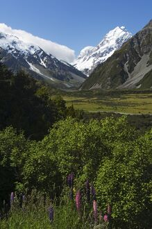 Lupins in flower below Aoraki (Mount Cook)