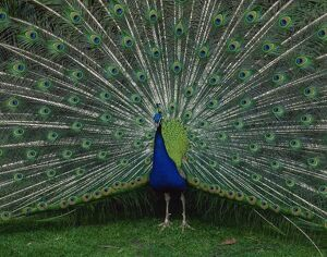 Male peacock courtship display