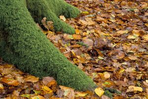 Moss covered tree foot and autumn leaves, New Forest, Hampshire, England