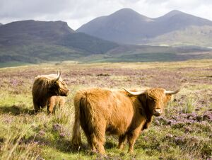 Pair of Highland cows grazing among heather near Drinan, on road to Elgol