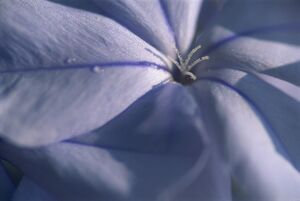 Detail of the petals of a blue flower