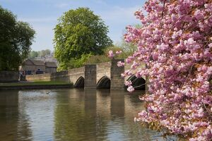 Pink cherry blossom on tree by the bridge over the River Wye, Bakewell