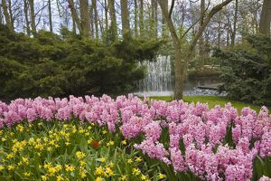 Pink hyacinths and daffodils, Keukenhof, park and gardens near Amsterdam