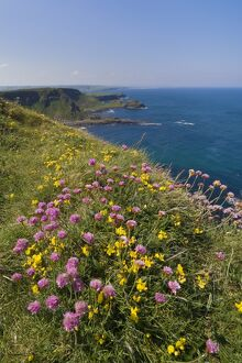 Pink sea thrift on cliff top, North Antrim coast path to the Giant's Causeway