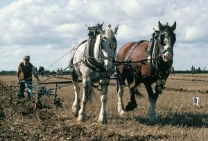 Ploughing with shire horses, Derbyshire, England, United Kingdom, Europe