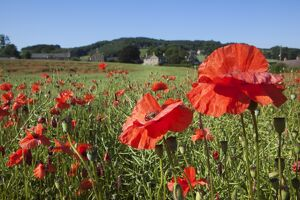 Poppies (Papaver hoeas), on edge of rural English village, Fourstones, Northumberland