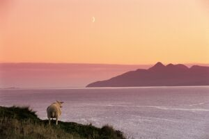 Sheep and the Isle of Rum