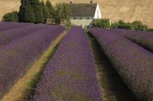 Snowshill Lavender Farm, Gloucestershire, The Cotswolds, England, United Kingdom, Europe
