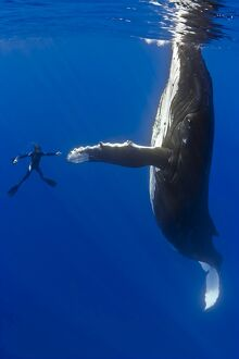 Southern humpback whale, Megaptera novaeangliae, and diver, shaking hands, on migratory route
