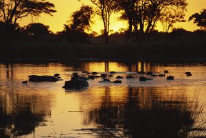 Tranquil scene of a group of hippopotamus (Hippopotamus amphibius) in water at sunset