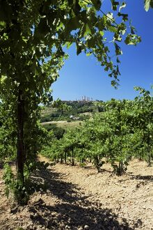 View from vineyard of the town of San Gimignano