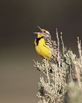 Western meadowlark (Sturnella neglecta) singing, Yellowstone National Park, Wyoming, United States of America, North America