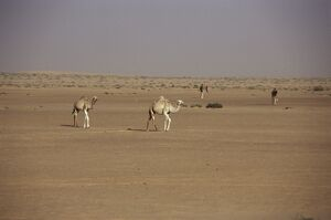 Camels in desert between Nouadhibou and Nouakchott