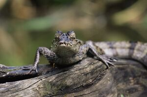Young spectacled caiman (Caiman crocodilus) in captivity