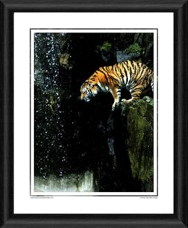 Amur Tiger Framed Photographic Print
