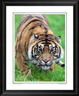 Rare Sumatran Tiger Framed Photographic Print