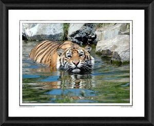 Sumatran Tiger Framed Photographic Print