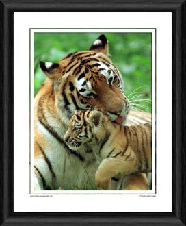 Wanda With Tiger Cub Framed Photographic Print
