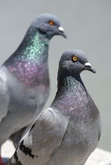 Birds - Two Pigeons