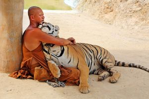 Buddhist Monk hugging Tiger at the Tiger Temple in Kanchanaburi, Thailand