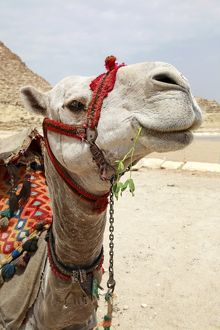 A Camel in Cairo, Egypt