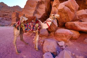 Camel in the rock city of Petra, Jordan